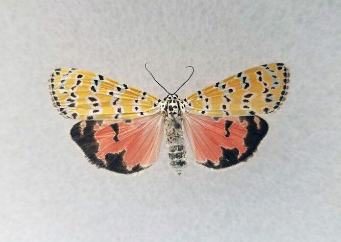 bella_moth