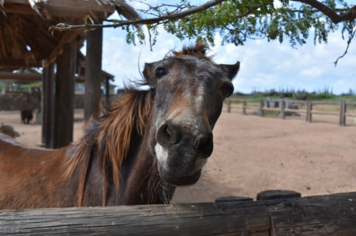 An old horse stands by a wooden fence making a funny face.