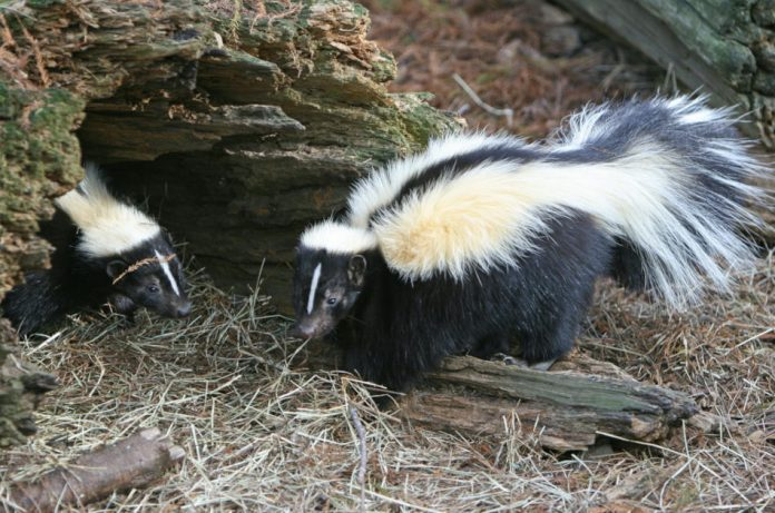 Two skunks explore outdoors by a fallen log.