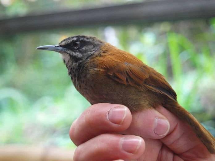 song_bird_plain_tail_wren