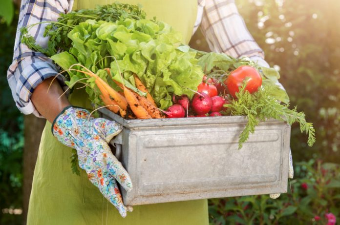 A woman wearing a green apron and gardening gloves holds a box full of harvested vegetables.