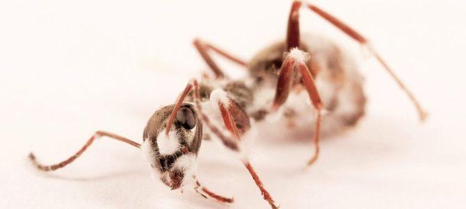 Karıncalarda sevk-i ilahî yansıması