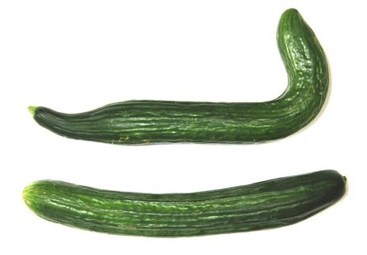 Worldís wonkiest cucumbers are to be on sale in Morrisons this week to celebrate Roald Dahlís 100th birthday and help parents looking for a healthy addition to lunchboxes this term.