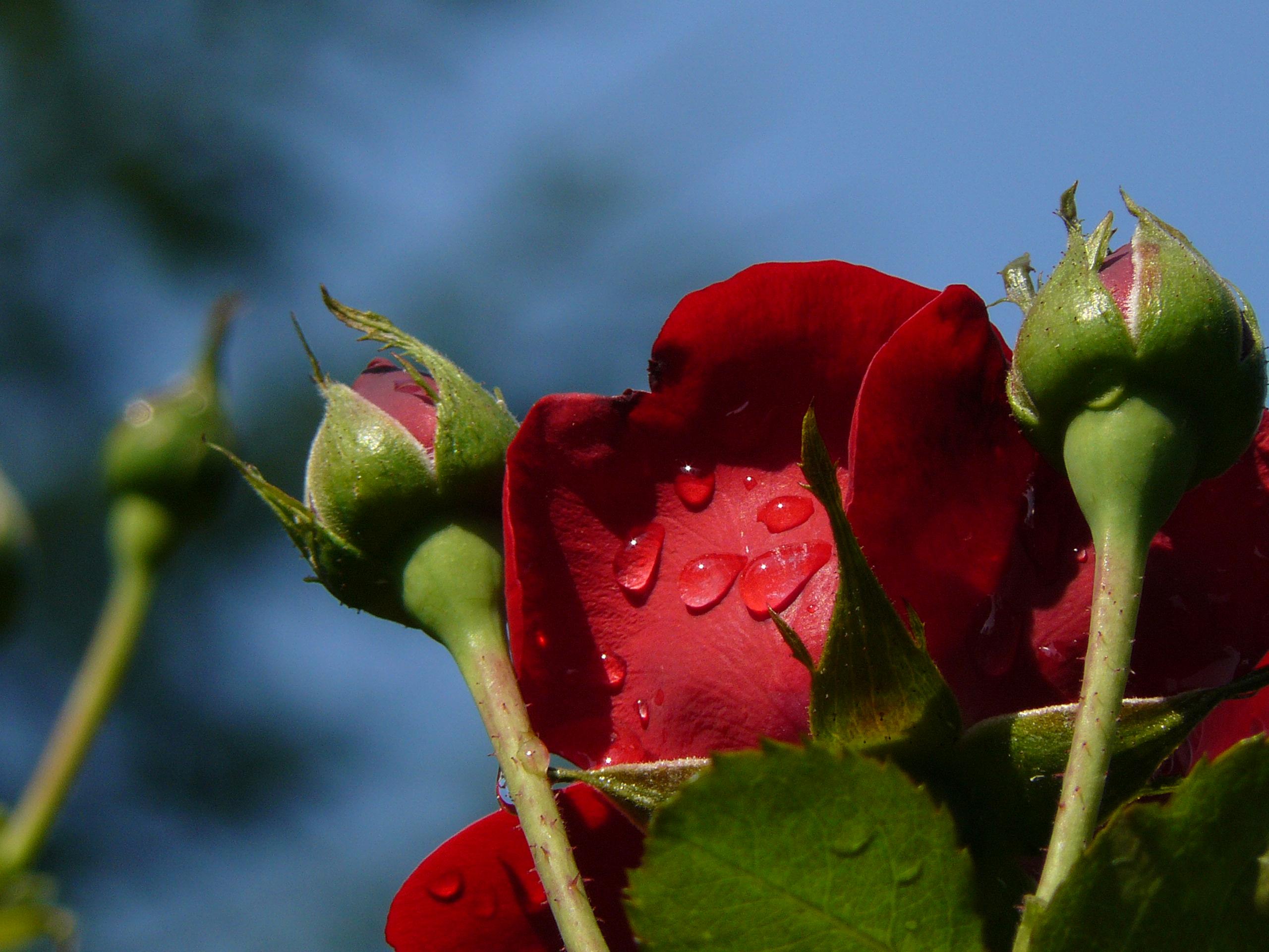 un trandafir matinal pe cerul Lepsei