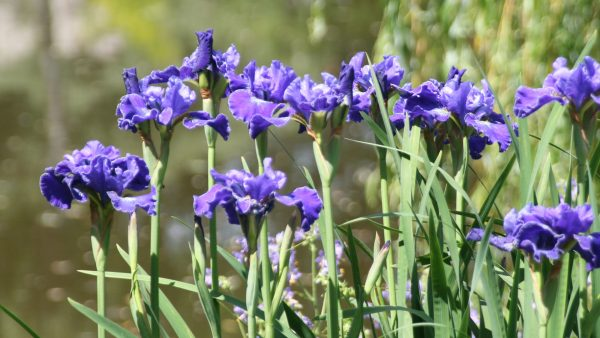 Iris im Garten