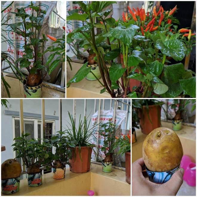 Dân mạng đua nhau khoe... vườn khoai lang, rau thơm trên bàn làm việc khiến ai cũng muốn làm theo - 8