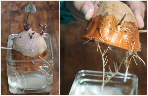 Cách trồng khoai lang trong bao đất bằng mầm ươm từ củ khoai - 5