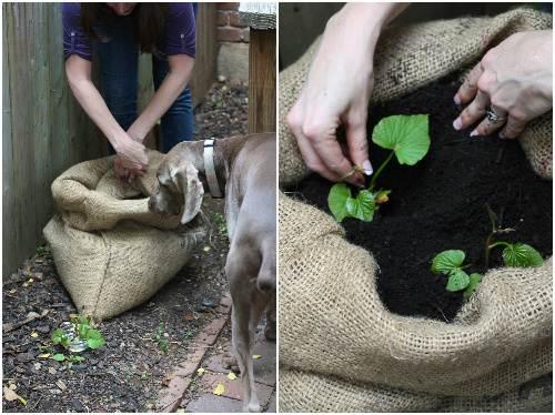 Cách trồng khoai lang trong bao đất bằng mầm ươm từ củ khoai - 9