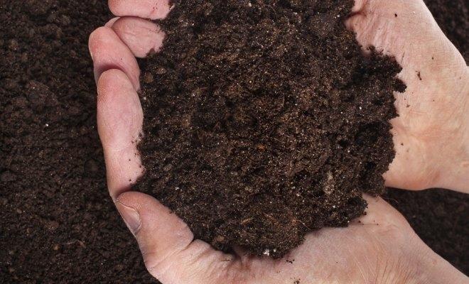Особенности посадки и выращивания туи брабант. Ухода и выращивание западной туи брабант
