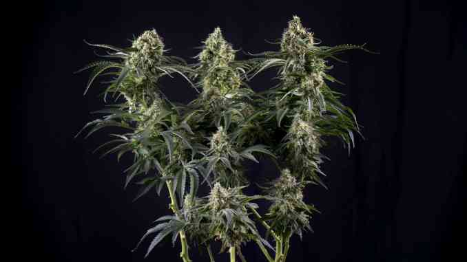 https://www.leafly.com/news/cannabis-101/flush-cannabis-plants