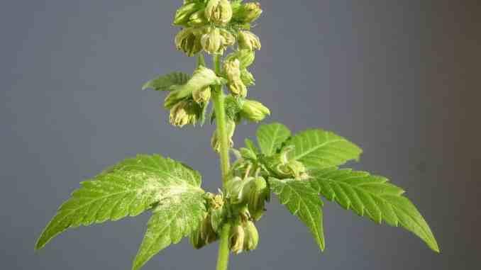 Kod vanjskog uzgoja, na biljku utjeću sve kraći dani u kasno ljeto čime započinje faza cvjetanja.