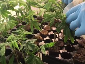uzgoj medicinske marihuane