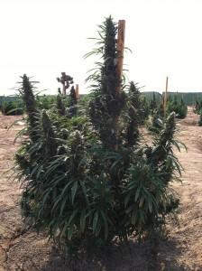 weedfarm2