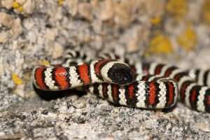 California Mountain Kingsnake ( Photo by Jacob Andersen)