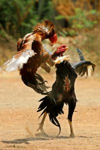 cock fight, cockfight