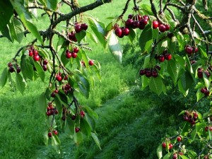 The Cherry Orchard, The Orchard, Chekhov, movie