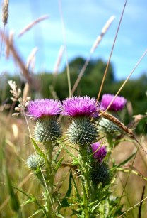 Scottish Highlands, thistle