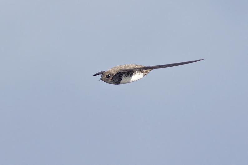 Alpengierzwaluw - Westkapelle - 27032016 - Corstiaan Beeke