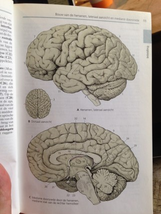The brain...