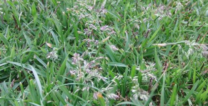 芝生の「穂」
