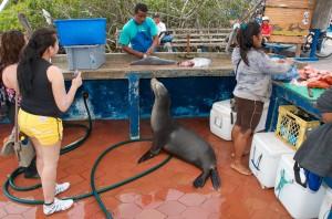 Seelöwe beim Fisch kaufen