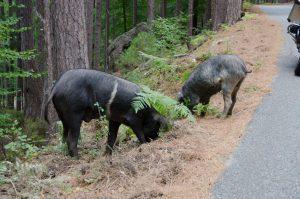 halbwilde Schweine