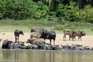 ...wilde Büffel am Ufer