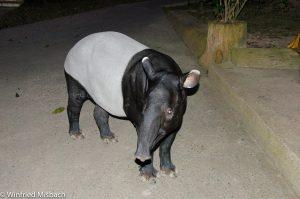 malayischer Tapir