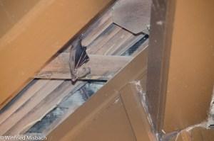 Flughunde unter dem Dach