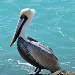 Brown Pelican - Boca Raton - Florida