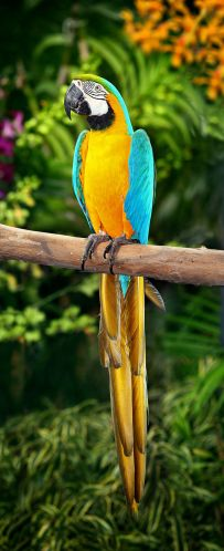 parrot Benjamint444 800px-Blue-and-Yellow-Macaw