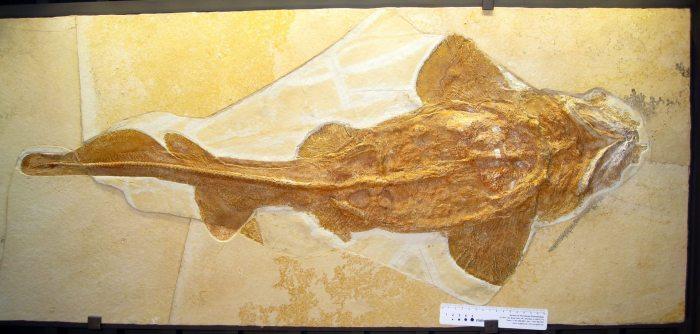 great-white-shark-teeth-ancestor-2