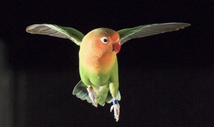 lovebirdsace