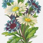 Buket Bunga Daisy Umum Mawar Taman Bunga Merangkai Bunga Decoupage Tanaman Tahunan Png Pngwing