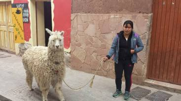 Girl walking down the street in the center of town with an alpaca