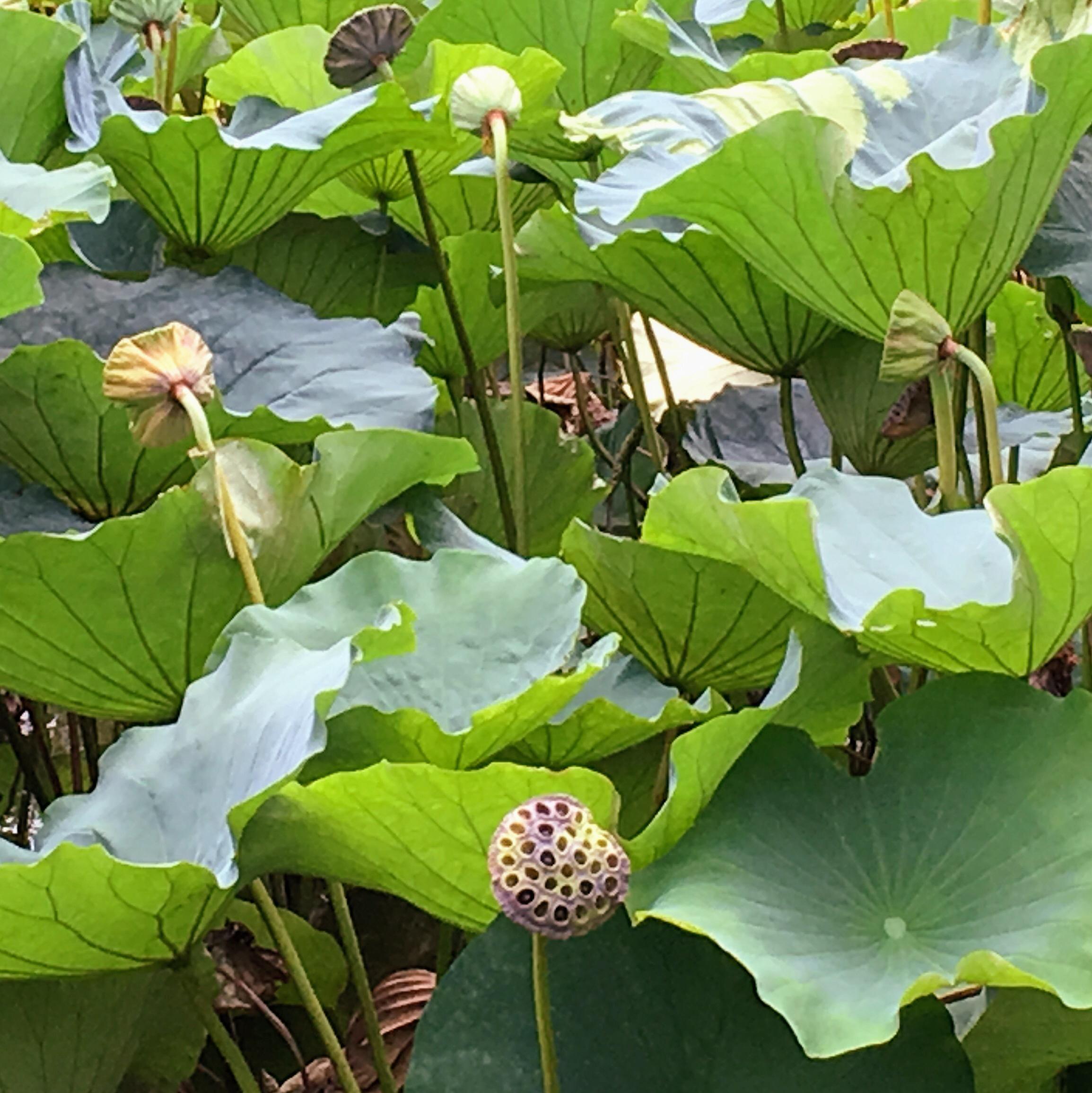 Lotus Wabi Sabi Sole