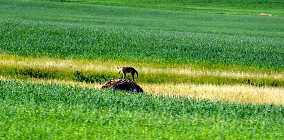 Coyote! Taken in Saskatchewan