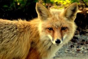 Sly fox. Whitehorse, Yukon.