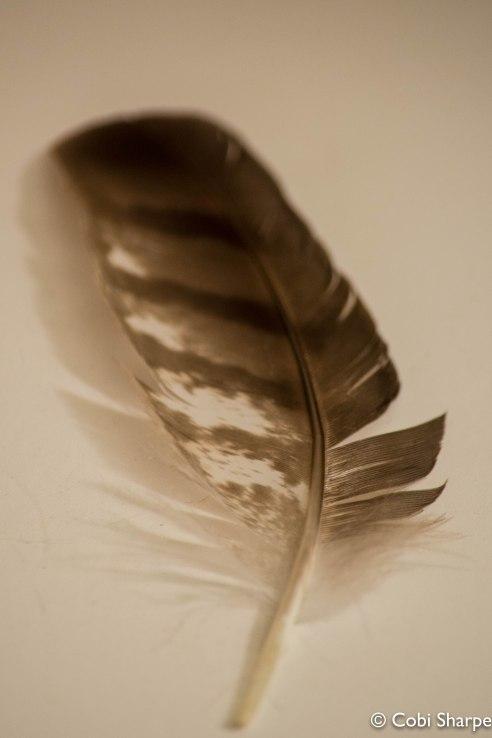 Sharp-shinned Hawk feather