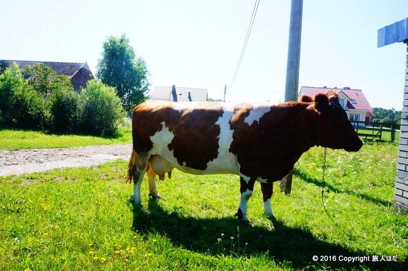 どうでもいいけど、バス停の真横に牛がいたから撮ってみる(笑)