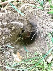 Tulip bulb in hole