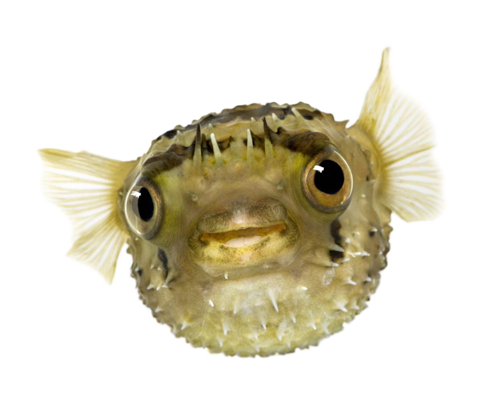 Balloonfish at the New England Aquarium