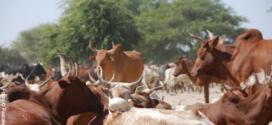 انخفاض كبير في أسعار المواشي بموريتانيا