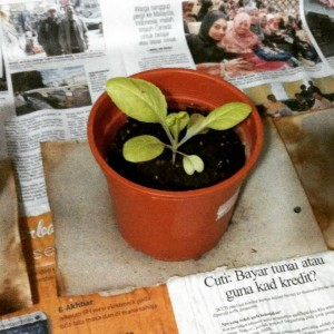 a photo of the plant in much better days kindly provided by Will