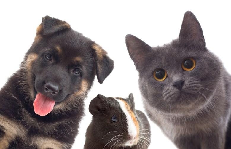 Wagaonds Dog, Cat and Guinea Pig