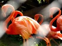 Caribbean Flamingos, Henry Doorly Zoo, Omaha, NE.