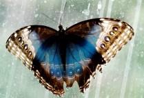 Owl Butterfly, Butterfly House, Henry Doorly Zoo, Omaha, NE.