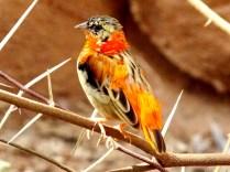 Orange Bishop Weaver, Henry Doorly Zoo, Omaha, NE.