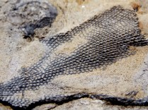Exposed fossils, Devonian Gorge, Corralville, IA