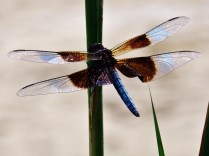 Dragon-fly, Devonian Gorge, Corralville, IA